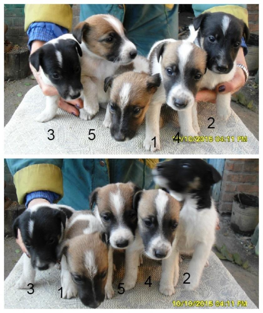Цена: 2500 грн - продажа щенки немецкой овчарки