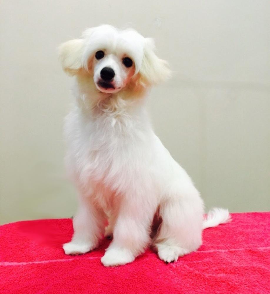 Китайская хохлатая собака купить щенка цена