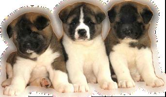 собака американская акита, цена в украине