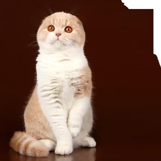 купить вислоухих котов