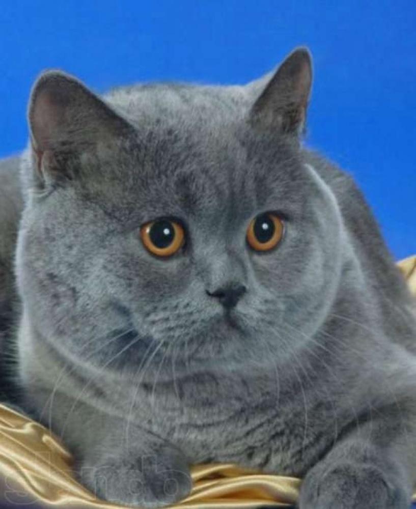 лайткуба британский прямоухий кот в картинках выполнить можно без