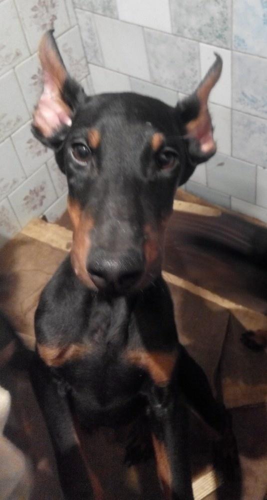 Подать объявление о продаже щенка добермана в евпатории услуги фотографа в николаеве объявления
