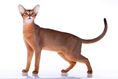 купить абиссинскую кошку