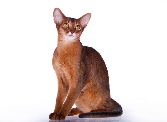 абиссинскую кошку купить в  украине