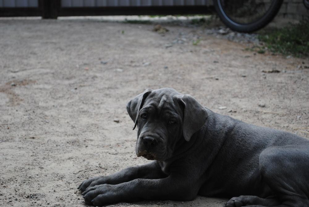фото собак кане корсо серого цвета советские годы, когда