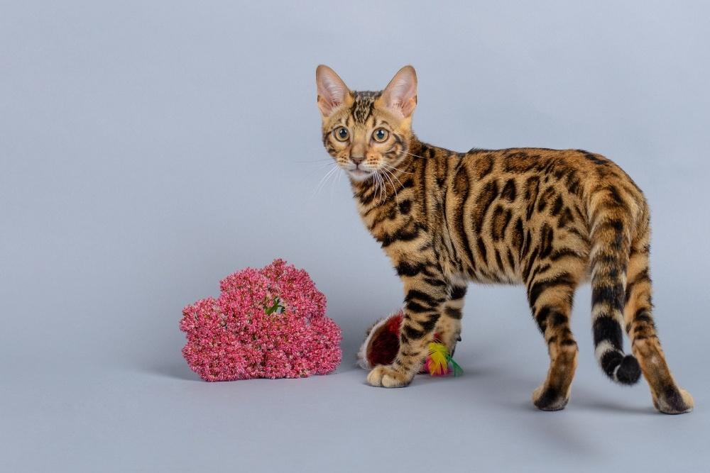 Открытку, открытки с котом бенгальским