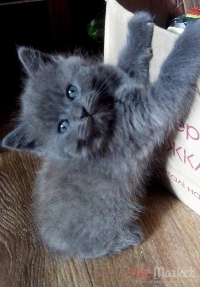 Котята персы на продажу в г белогорске